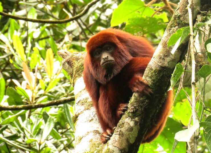 Scimmia urlatrice flickr