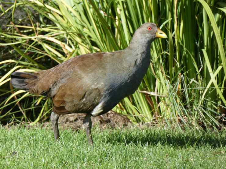 gallinella della tasmania