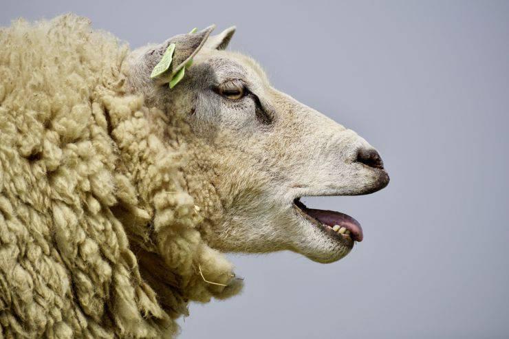 storie sulle pecore assurde