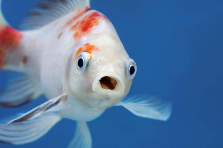anche i pesci sbadigliano