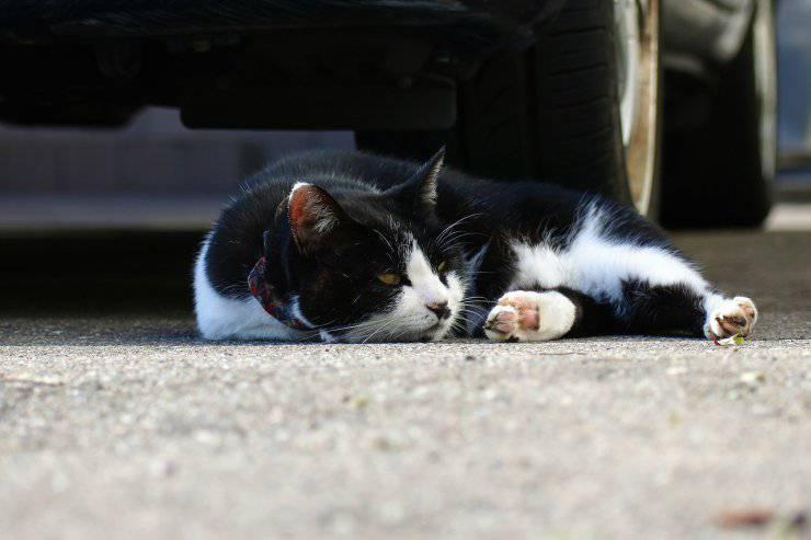 Castrazione del gatto: convalescenza