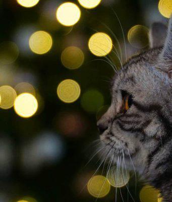 Udito del gatto