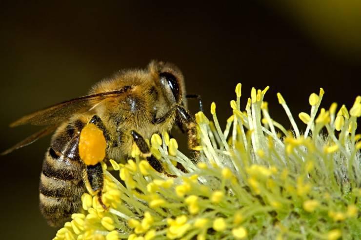 isolamento animali ape