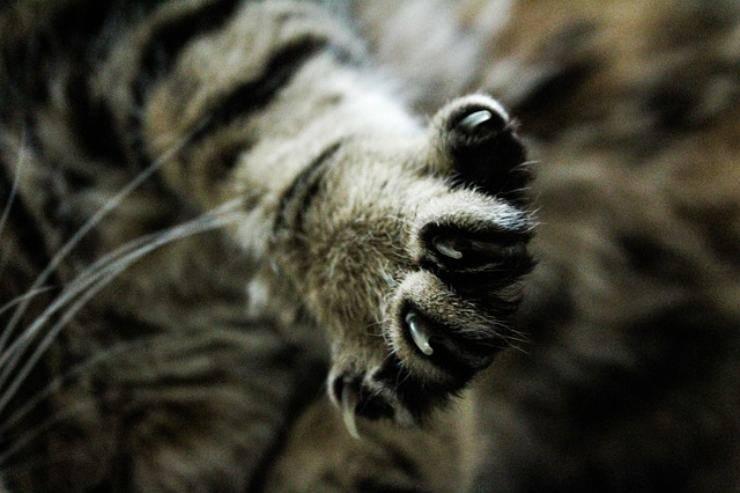 artigli gatto