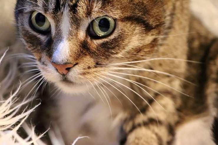 10 fatti sui baffi del gatto