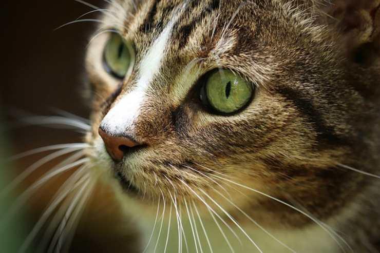 baffi gatti vibrisse