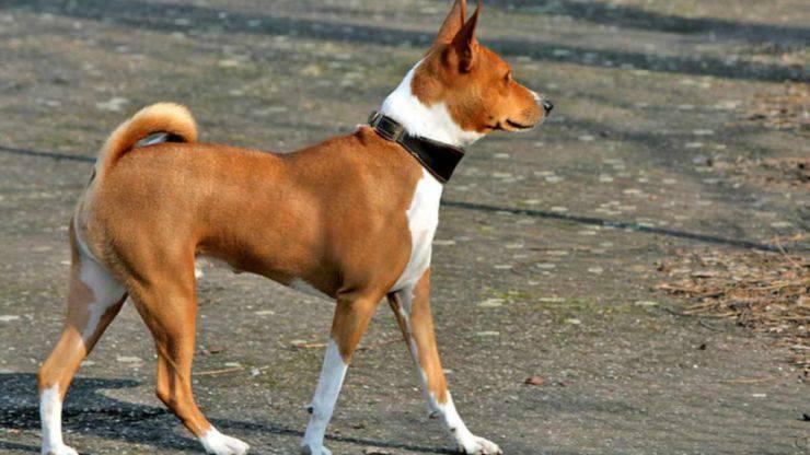 cane non abbaia basenji