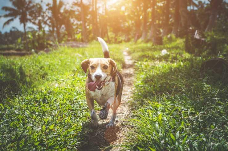 beagle razze di cani dall'olfatto più potente