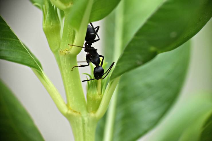 Formica nera
