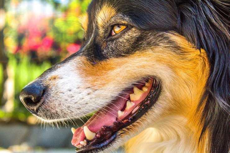cavo orale del cane