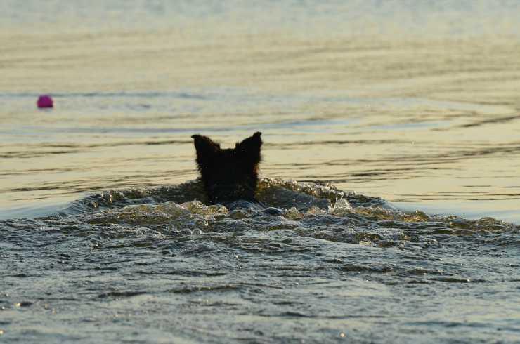 Collie che nuota (Foto Pixabay)
