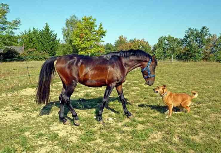 cane cavallo