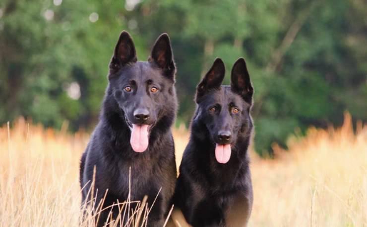 cane da Pastore olandese adulto