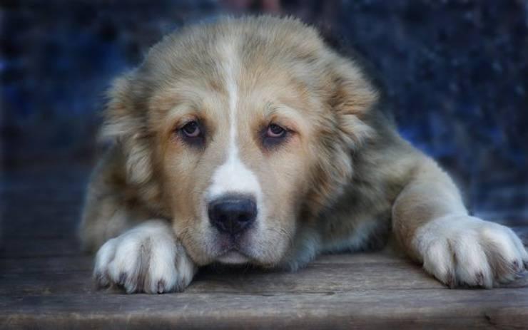 cane da pastore dell'asia centrale adulto