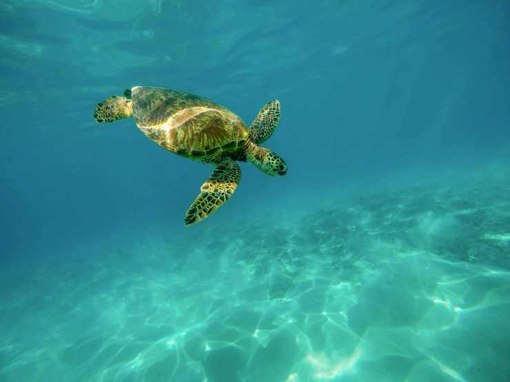 tartaruga marina che nuota (Foto Pixabay)