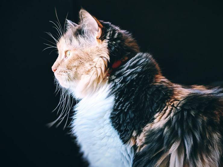 gatto chimera