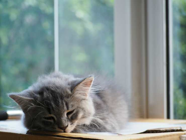 Gattino addormentato (Foto Pixabay)