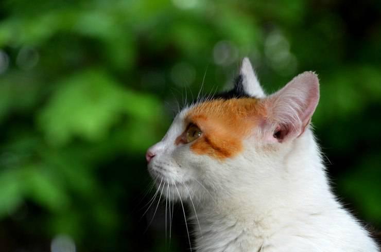 Le orecchie del gatto