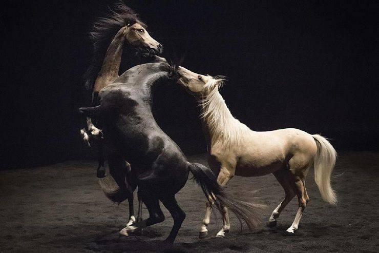 cavalli musica