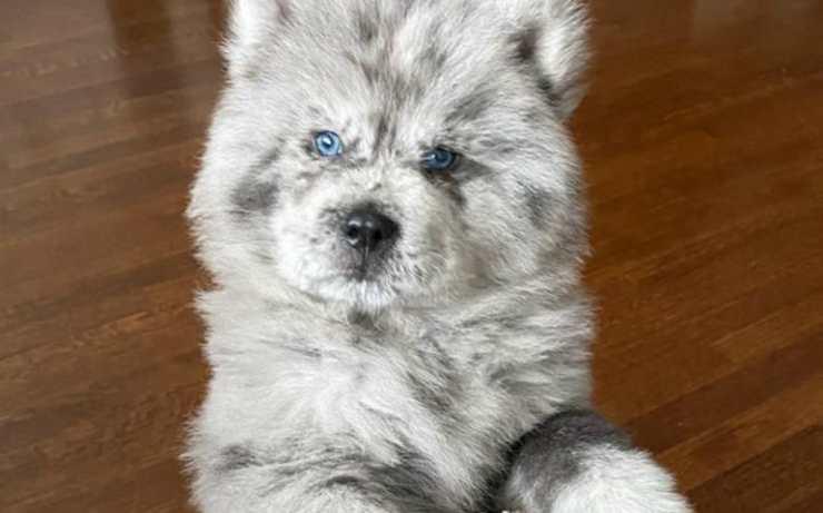 """Il cucciolo """"Nuvola Oreo"""" (Foto Instagram)"""