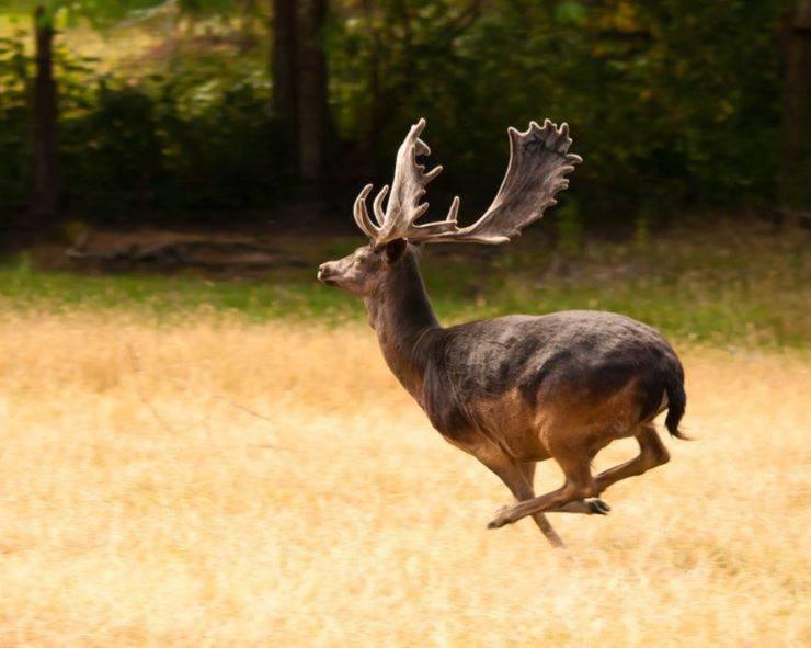 cervo cervidi specie