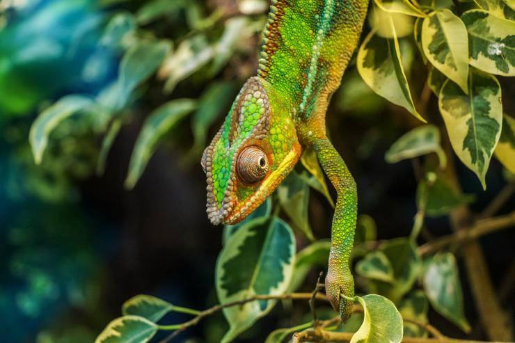 Il camaleonte cambia colore