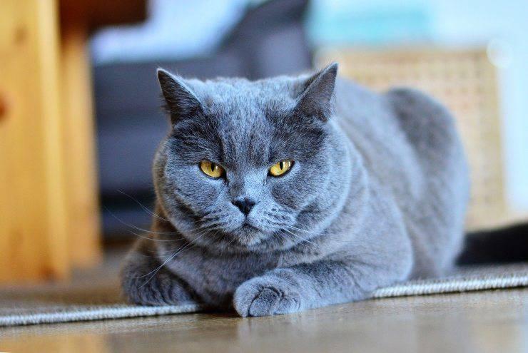 gatto chartreux