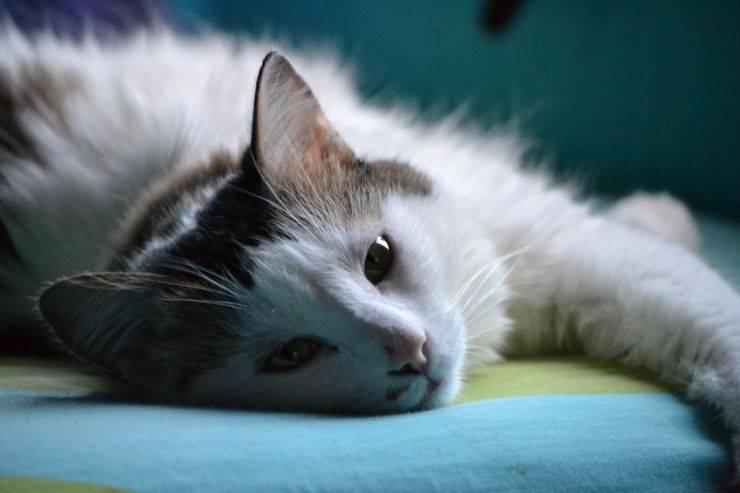 lesioni interne gatto