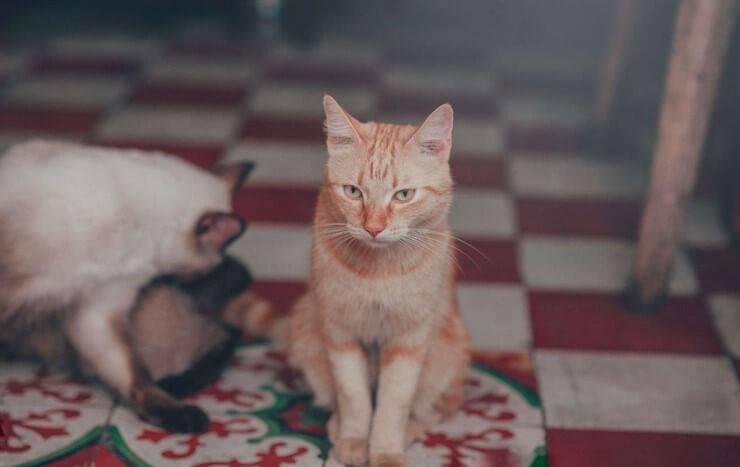 cosa pensa il gatto della quarantena