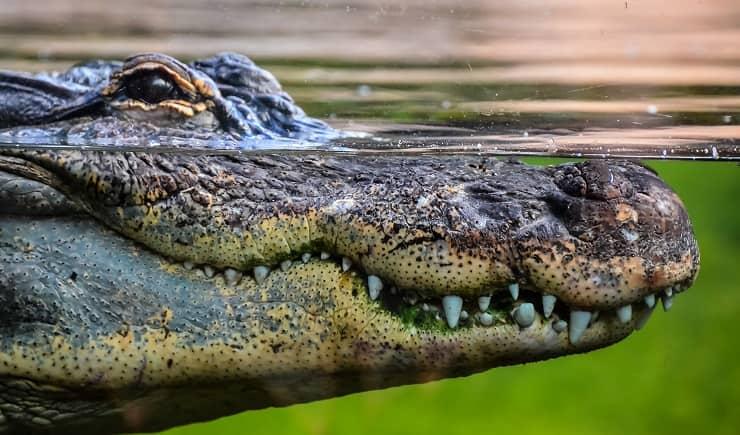 Curiosità dal mondo animale Coccodrilli