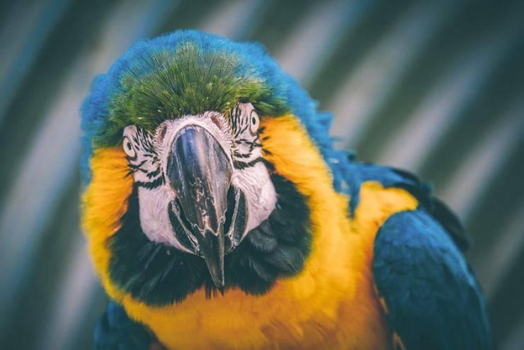 come vedono i pappagalli