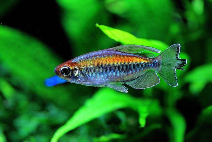congo tetra Perché i pesci nuotano in verticale
