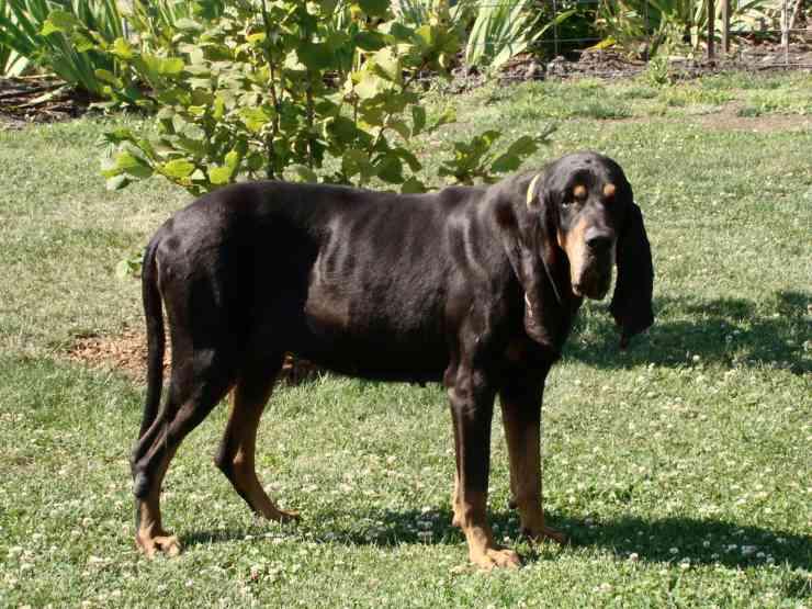 coonhound flickr
