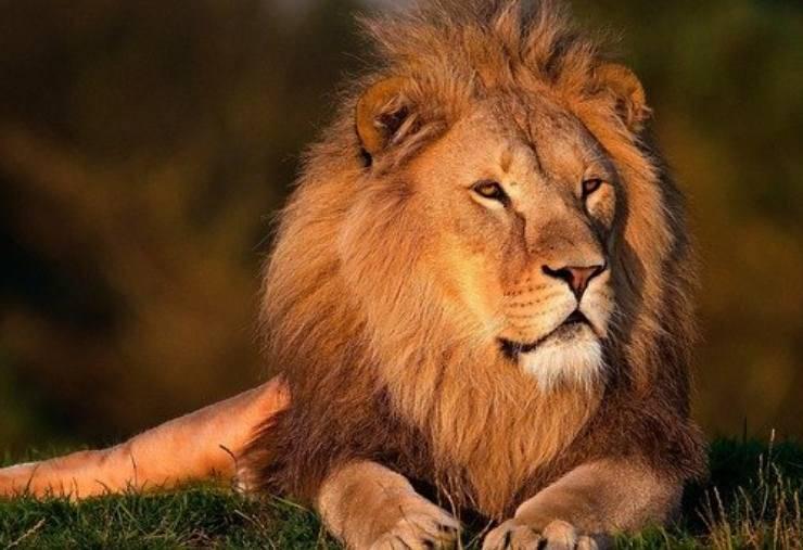 curiosità leone