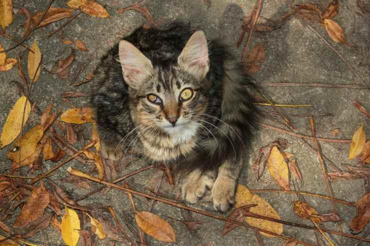 Morbo di Cushing nel gatto