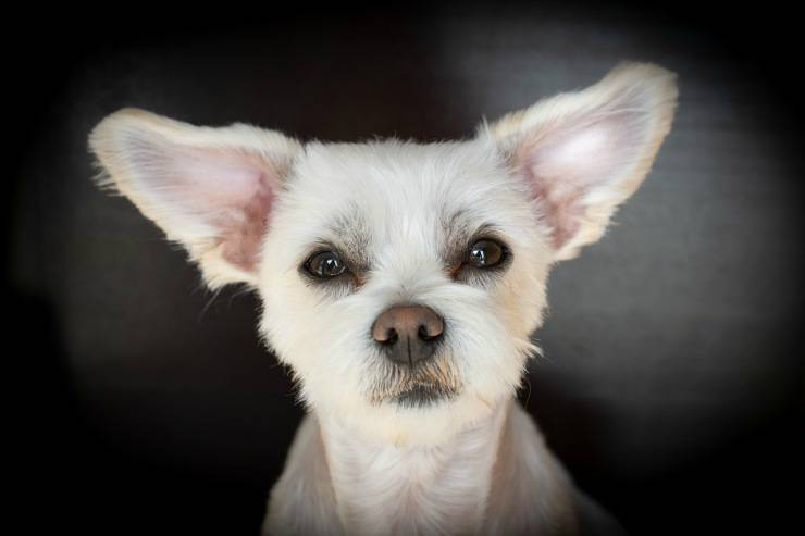 Cane con orecchie a punta