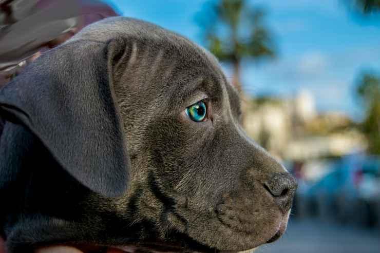 Cucciolo di pitbull (Foto Pixabay)