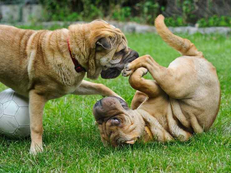 cani giocano