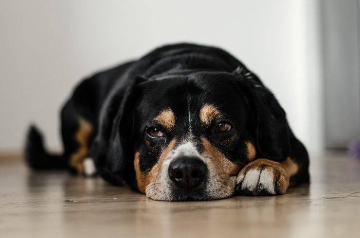 Cane molto ansioso