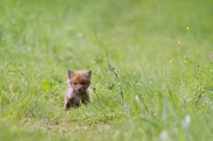 cucciolo volpe