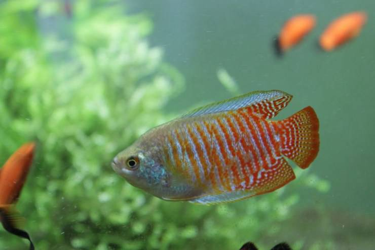 gourami nano Perché i pesci nuotano in verticale