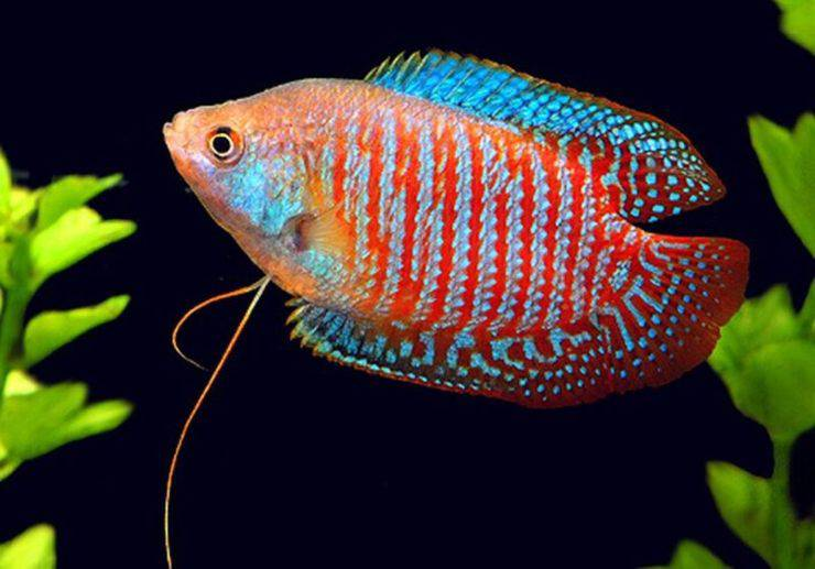 dwarf gourami pesce