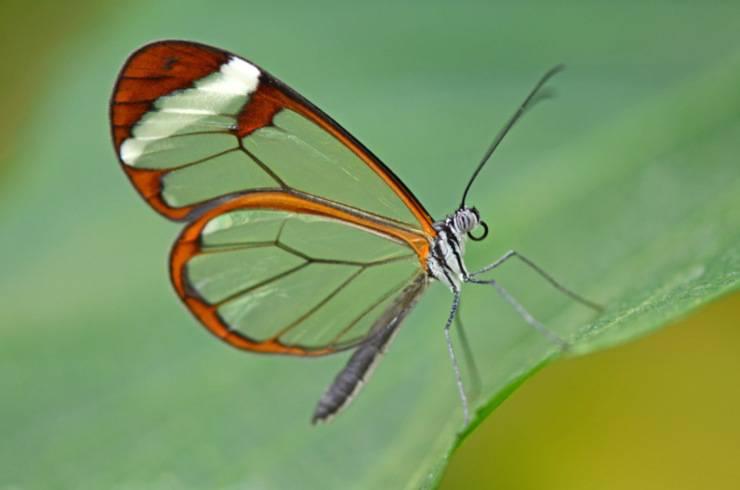 farfalla ali vetro