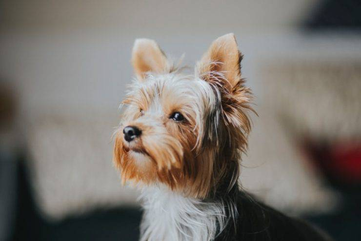 Cani anallergici: yorkshire terrier