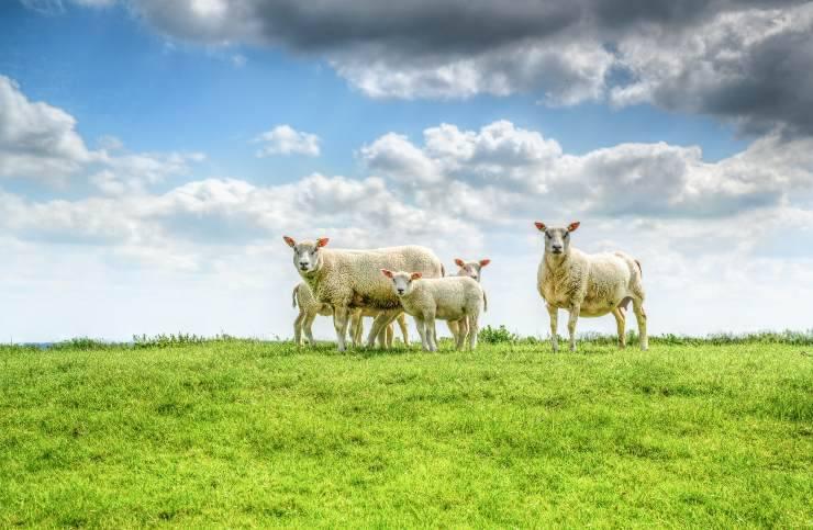 fattoria natura pecore