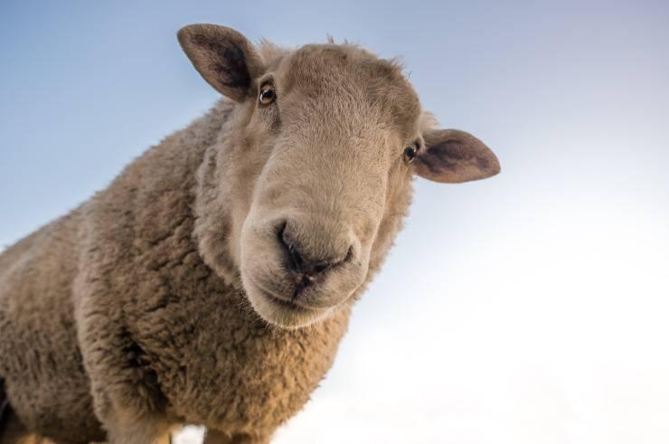 pecorelle primo piano