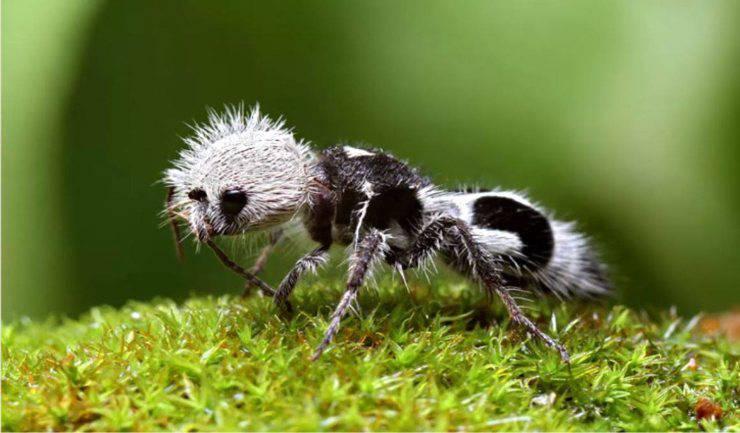 vespa formica panda