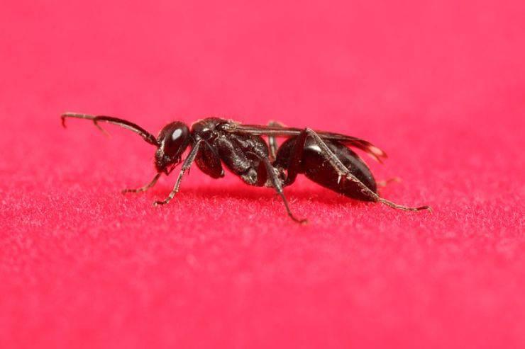 formiche volanti