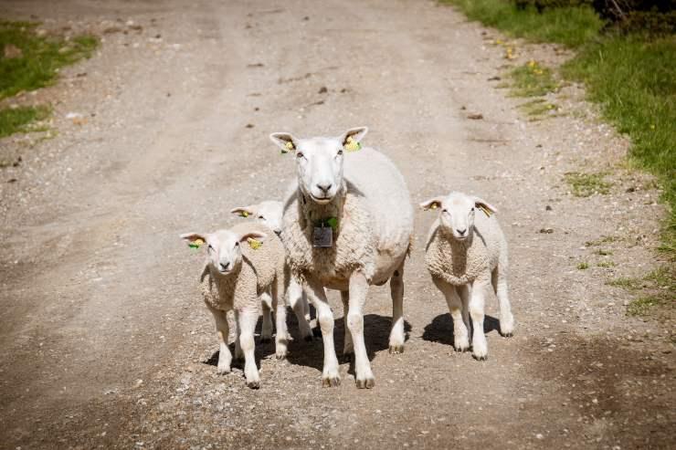 contare pecore sonno