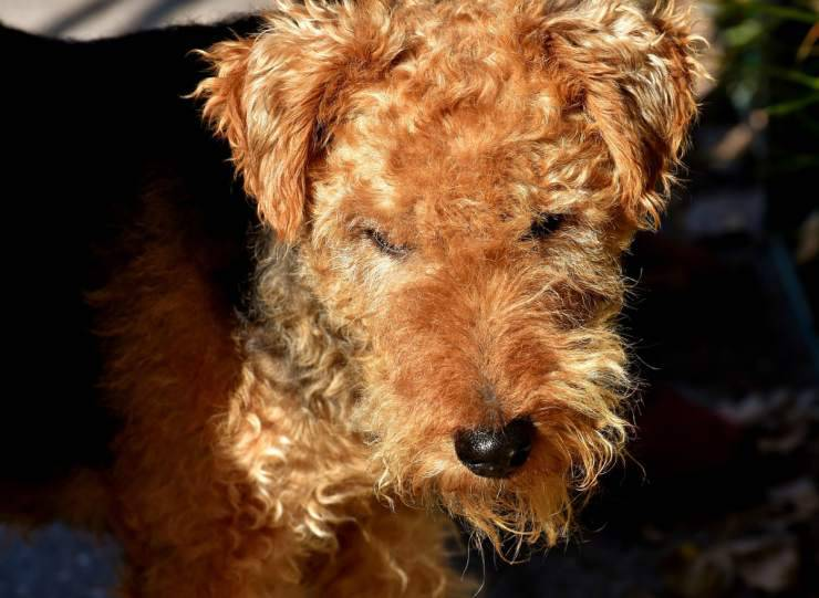cane malattie fox terrier